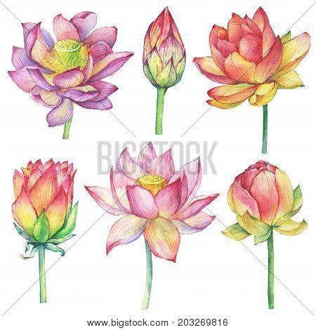 Sacred Lotus Images Illustrations Vectors Sacred Lotus Stock