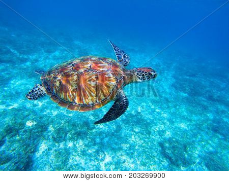 Green sea turtle in sea. Big green sea turtle closeup. Wild nature marine species. Turtle in tropical sea. Tortoise photo. Big turtle in blue water. Aquatic animal underwater. Diving in tropics