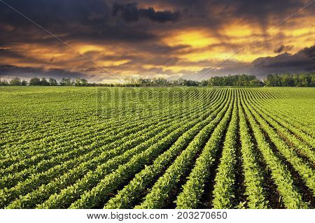 Soy field with rows of soy bean plants in sunset