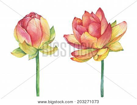 Exotic pink flowers lotus (water lily, Indian lotus, sacred lotus, Egyptian lotus). Watercolor hand drawn painting illustration isolated on white background. Symbol of India