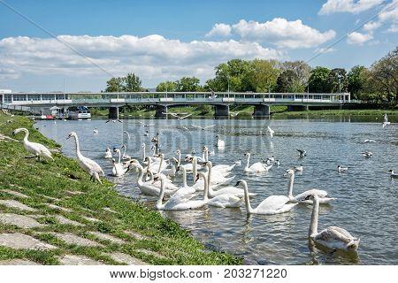 Beautiful Swans - Cygnus on the river side with bridge Piestany Slovak republic. Natural scene. Travel destination.