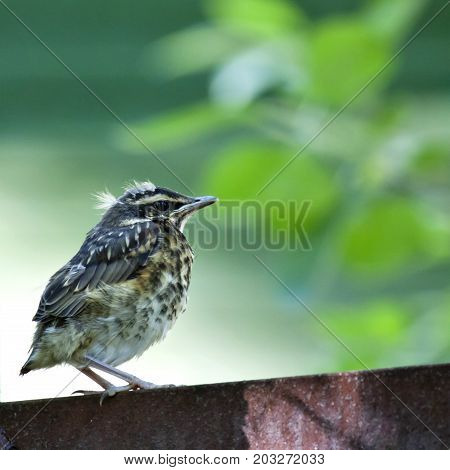chick of the thrush, Fieldfare sitting there waiting for parents