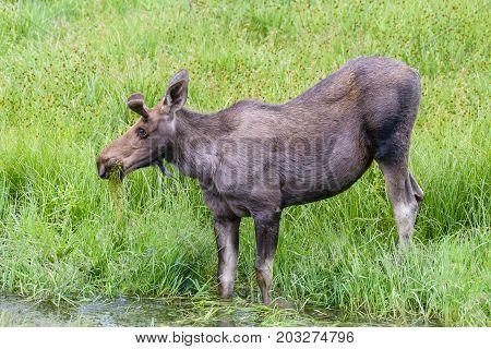 Young Bull Moose - Wild Shiras Moose in the Rocky Mountains of Colorado