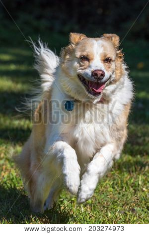 Vertical photo of a blonde border collie mix dog running and jumping towards the camera