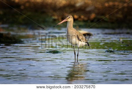 The black-tailed godwit (Limosa limosa) in Danube Delta