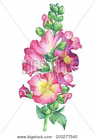 Alcea rosea, Mallow pink flower (malva, hollyhock, Althaea rugosa). Watercolor hand drawn painting floral illustration isolated on white background. For design -posters, greeting card, fabrics, print.