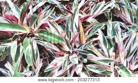 Red Variegated Ginger Plants in Garden