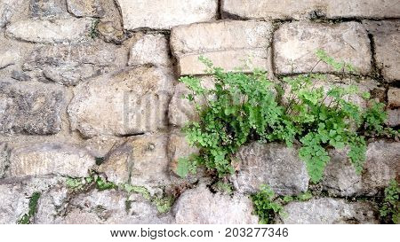 Maidenhair Fern growing on Ancient Wall