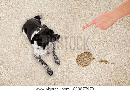 Elevated View Of Hand Pointing Toward The Dog Sitting On White Dirty Carpet