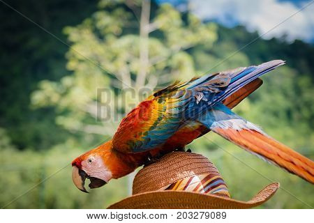 Playful scarlet macaw outdoors nature background resting on top of hat