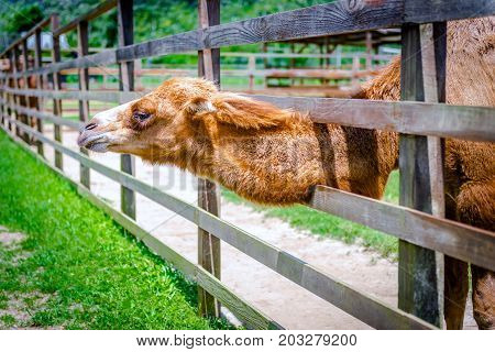 Two humps camel in its pen petting farm zoo outdoors captive animal domesticated brown fluffy