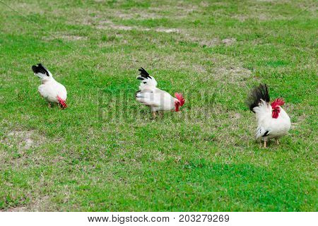 Three free range wild white roosters feeding on the grass lawn petting farm