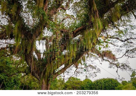 Huge broad tropical forest tree viewed from below Caribbean Trinidad and Tobago
