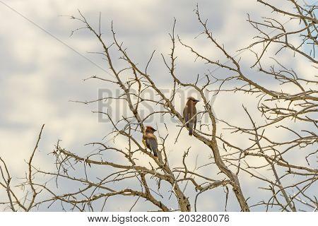 Cedar Waxwings in an old tree in Theodore Roosevelt National Park in North Dakota