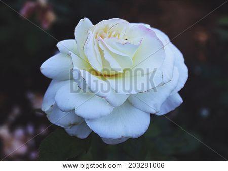 Single White Rose, Rose Garden in San Jose California