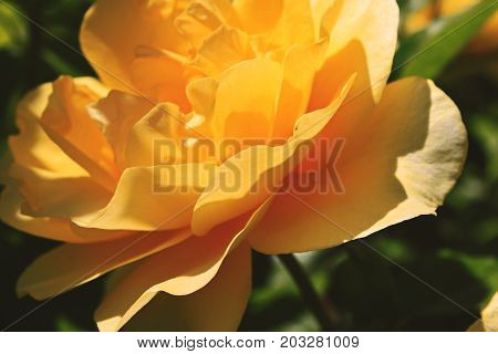 Single Rose Yellow Orange Rose from the Rose Garden in San Jose California