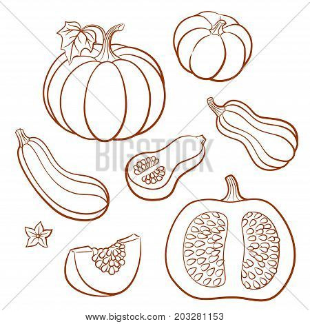 Set of outline vector vegetables. Pumpkins butternut squash vegetable marrow; zucchini. Whole fruits with leaves and flowers and slices with seeds