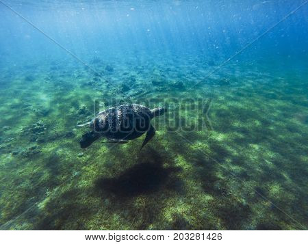 Green sea turtle in sea water. Tropical lagoon animal. Marine species in wild nature. Turtle in tropical sea. Tortoise photo. Big turtle in blue water. Aquatic animal underwater. Tortoise banner