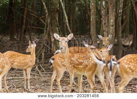 Sika deer / Spotted deer / Japanese deer
