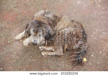 A dog with long dirty hair lying on the ground