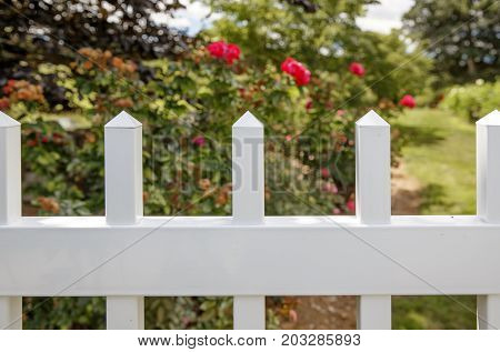 red roses in the garden behind a white hedge. blurred background of flowers and garden. Copy space for your text