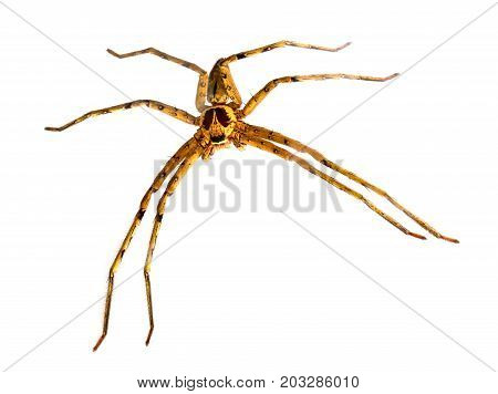 Tropical crab spider full body macrophoto. Hunting spider or thomisidae closeup. Exotic pet spider. Tropical insect studio photo on white background. Tropical nature wildlife. Dangerous hunter insect