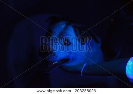 Veterinarian exam a dog skin using blacklight. poster