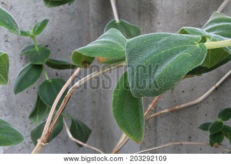 Fuzzy vines and leaves against a concrete wall, horizontal aspect