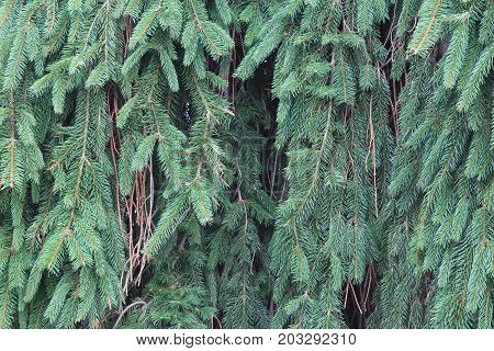 Weeping Norway spruce background texture, horizontal aspect