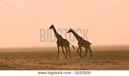 Giraffes In The Dust