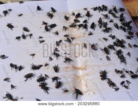 a ded fly on glue paper at home