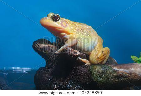 yellow orange frog on blue background wildlife animal nature