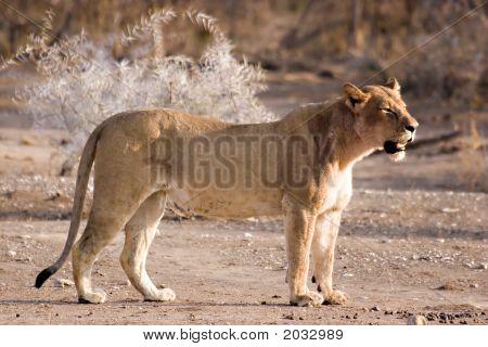 Lioness In Tuli