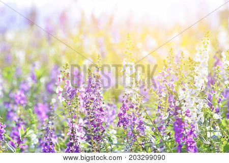 Soft focus on lavender flower beautiful lavender flower.Sunset over a violet lavender field
