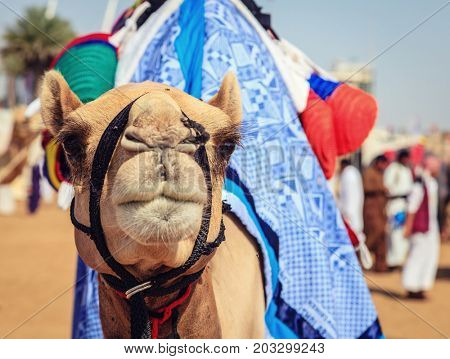 Portrait shot of a camel at Dubai Camel Racing Club, UAE