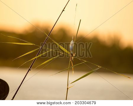 Bulrush hanging on a lure at sunset .
