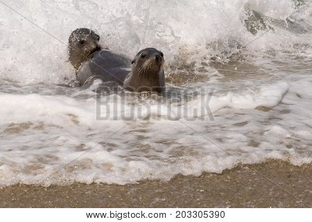 Two Sea lions playing in the surf.