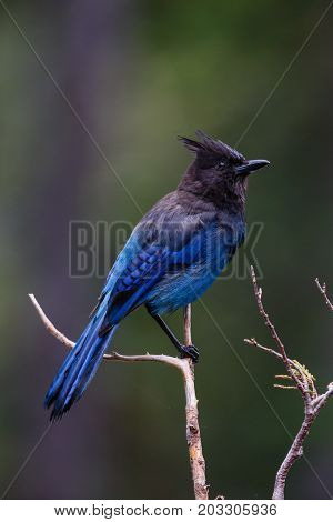 A Steller's Jay perched on a branch while displaying bright plumage.