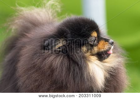 Spitz is a decorative breed of dogs.