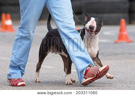 Bull Terrier dog peeps out from behind the owner's foot, squints and smiles.