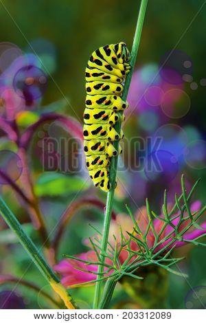 Green caterpillar swallowtail butterfly Papilio machaon on the branch of fennel, macro view on blur dark background
