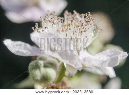 beautiful flower head of white bramble petals