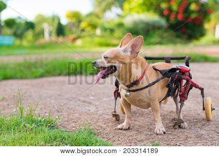 Cute Little Dog In Wheelchair Or Cart Walking In Grass Field..