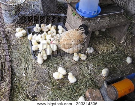 Chicken With Chickens Feeds At The Feeding Trough. Domestic Bird.