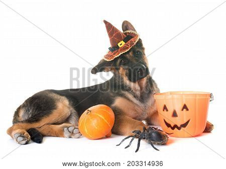 puppy german shepherd and halloween in front of white background