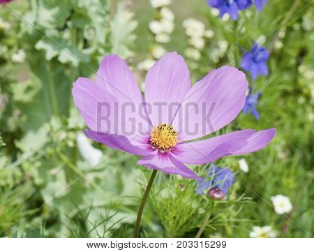 Beautiful Full View Of Pink Open Cosmos Plant Petals With Yellow Center In Garden - Cosmos Bipinnatu