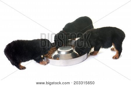 puppies rottweiler eating in front of white background