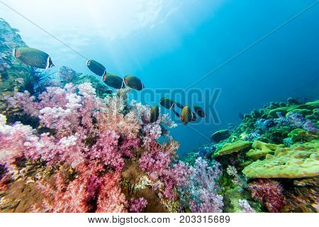 School Of Collared Butterflyfish And Soft Coral