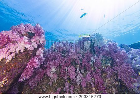 Colorful Soft Coral Under The Sea