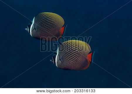 The couple of Collared Butterflyfish swimming in the sea